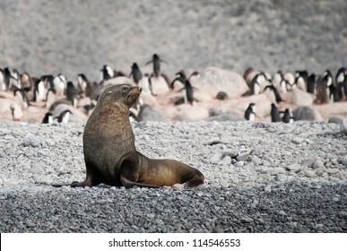 Fur seal in the beach of Antarctica