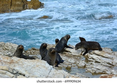Fur seal colony in the Kaikoura peninsula in New Zealand.