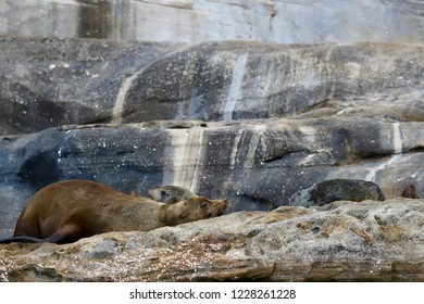 Fur Seal Colony on rocks in Sydney, adults and pup sleeping on land, cute