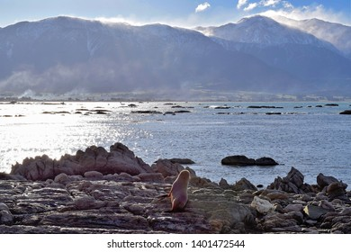 A fur seal heading to sea across the rocky shores of Kaikoura, New Zealand.