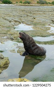 Fur Seal at Kaikoura, New Zealand