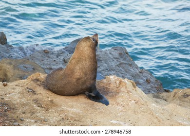 Fur Seal (Kekeno) on coastal rock cliffs, New Zealand