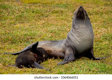 Fur seal mom and pup at Grytviken, South Georgia