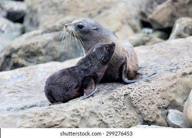 Fur seal mother and her baby together.