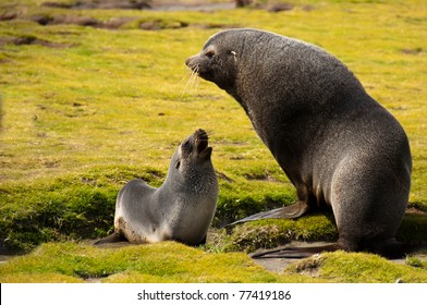 A fur seal mother and her young pup converse at their colony in Fortuna Bay, South Georgia Island.