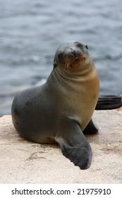 Fur seal on the galapagos islands
