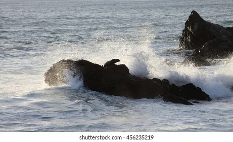 Fur Seal on Rocks, Cape Palliser, New Zealand