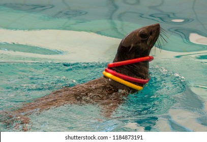 Fur seal plaing with ring in water (Arctocephalinae)