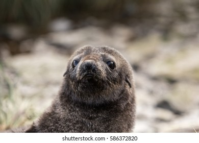 A fur seal pup on Prion Island, South Georgia.