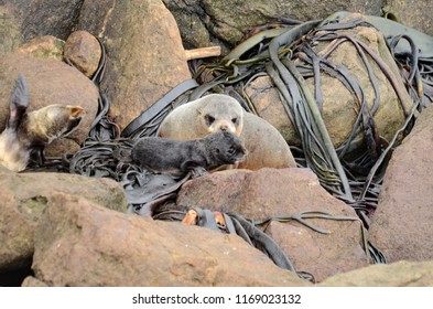 Fur seal with pups at Shag Point Colony, South Island, New Zealand.