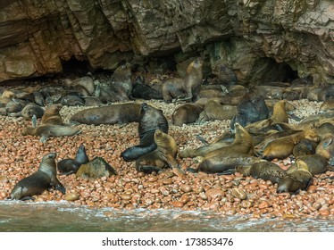 Fur seal (sea lions) rookery on Ballestas islands in Paracas national park. It is a designated UNESCO World Heritage Site - Peru, South America