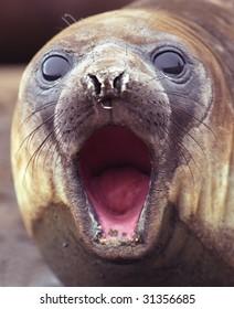Fur seal voice
