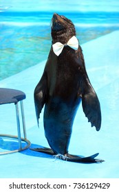Fur seal with white bow tie on a catwalk
