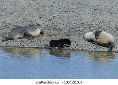 Fur seals with black pup
