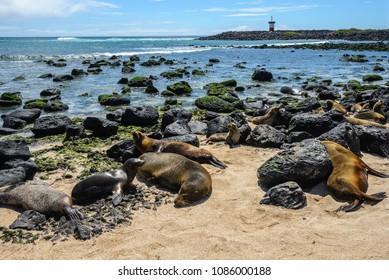 Fur seals at Punta Carola beach, Galapagos islands, Ecuador
