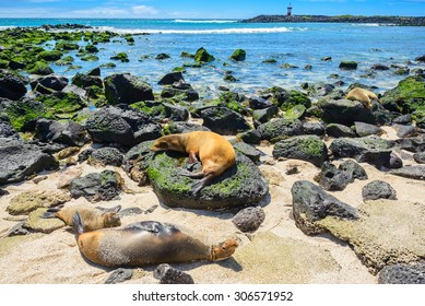 Fur seals at Punta Carola beach, Galapagos islands (Ecuador)