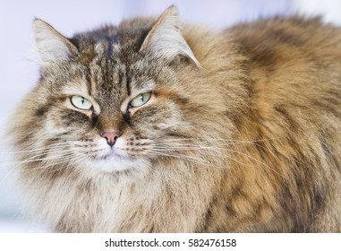 fur siberian cat, brown mackerel version
