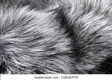 Fur texture of fox, silver color close-up background. Silver fox fur coat texture background. Animal fur texture. Silver natural short hair animal close up
