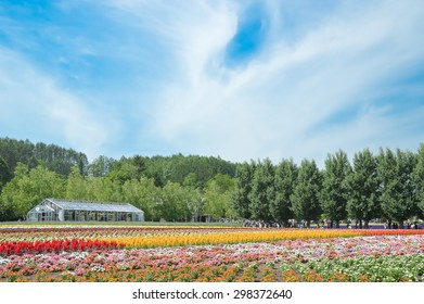 FURANO, HOKKAIDO, JAPAN-12 JULY, 2015 : Colorful rows of flowers with green house and blue sky, Tomita farm, highly famous tourist attraction