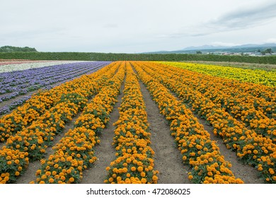 Furano, Japan - July 2016 : The scenic view of colorful flower field with the dusky sky at Farm Tomita