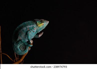Furcifer pardalis. Blue, white, orange and yellow chameleon isolated on black background. Nosy Be.