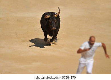Furious bull in the bullfight arena running near a man
