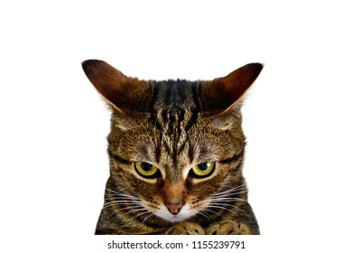 A furious cat is ready to attack! Very angry kitten. A cat on a white background, a poster, an inscription, an advertisement. Enjoying, joyful, whiskers, poster, card, emotion, fall, bengal