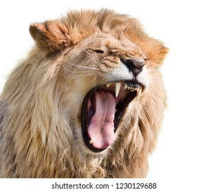 Furious lion male isolated on white background