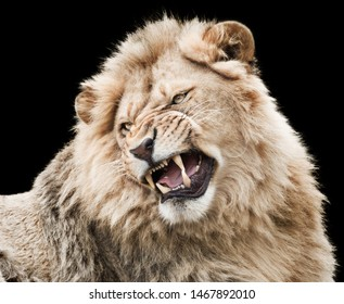 Furious powerful lion isolated on black background