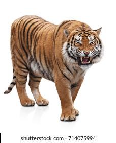 Furious tiger