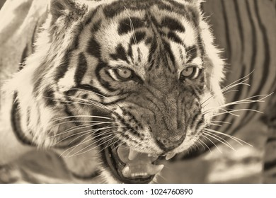 furious tiger in black and white