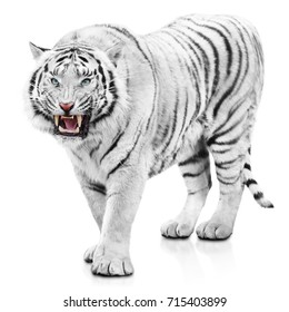 Furious white tiger