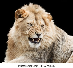 Furious young lion isolated on black background