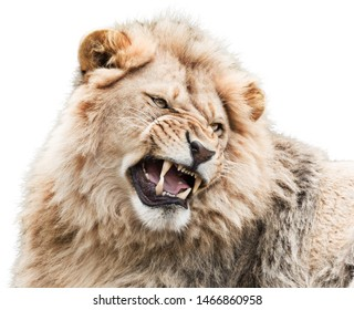 Furious young male lion isolated on white background