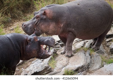 Furiously fighting hippos