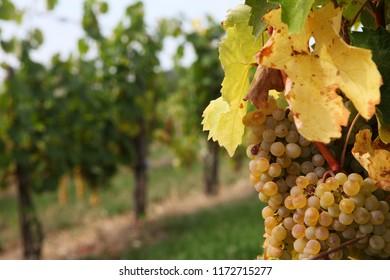furmint grape, Tokaj, hungary