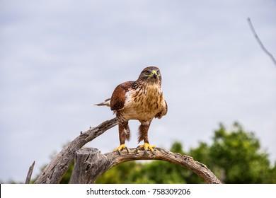A Furruginous Hawk perched