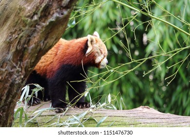 Furry animal, cute firefox on its tree