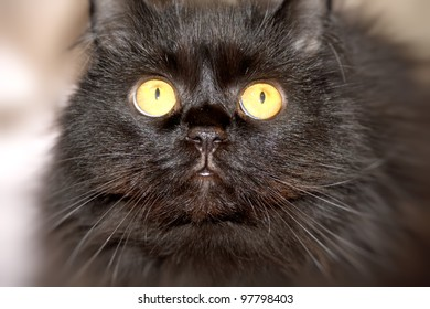 Furry black cat with yellow eyes looking at the camera.