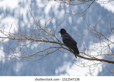 a furry black crow in the Himalayan Region of kasol himachal pradesh, India. Usually the fauna of Himalayan Region are have thick skin and fur because of the extremely low temperature.
