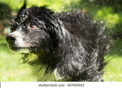furry black dog shaking off the water from his summer bath