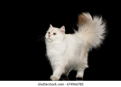 Furry British Cat White color-point Walk with adorable tail on Isolated Black Background, front view