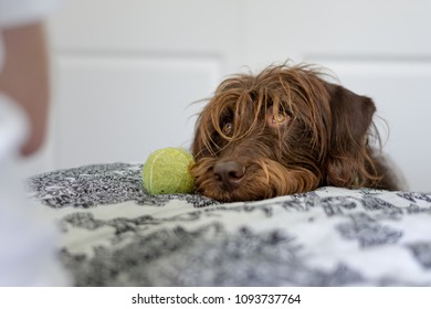 Furry brown dog with amber eyes rests his head on the bed next to his favorite tennis ball