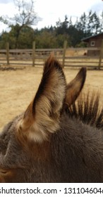 furry brown ears of miniature donkey animal