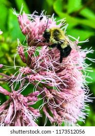 Furry bumble bee on bloomed pink Joe-Pye Weed.