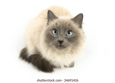 Furry cat with blue eyes isolated on white