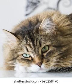 Furry cat face, brown mackerel tabby hair and green eyes of a siberian pet