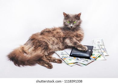 A furry cat is lying near a purse and dollars. A symbol of a rich person and a success in business
