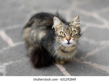 Furry cat staring