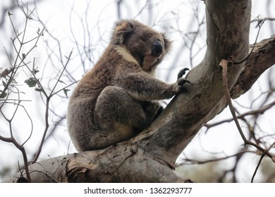 Furry coala bear sleeping on the branch, near Melbourne, Australia